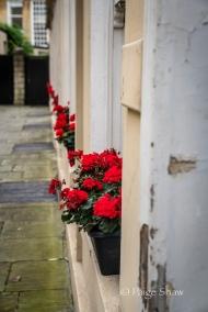 Geraniums in Bath