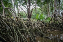 Brunei River Mangroves