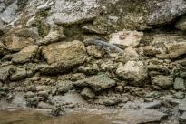 6' Monitor Lizard on the Brunei River