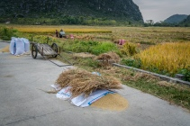 rice-harvest-guilin-china