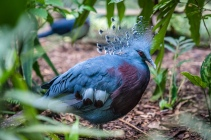 victoria-crowned-pigeon-nature-park-port-moresby-png