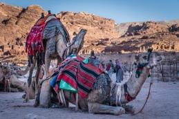 camel-chin-rub-petra-jordan