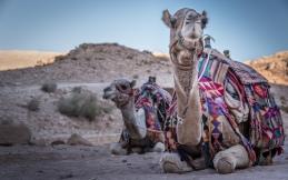 camel-stare-petra-jordan