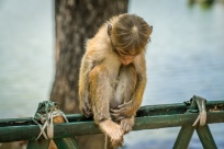 contemplating-monkey-kandy-sri-lanka