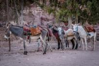 donkeys-petra-jordan