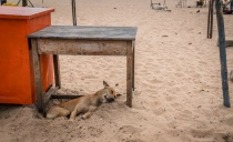lazy-beach-dog-tamil-nadu-india