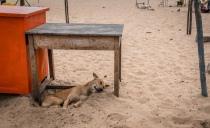 lazy-beach-dog-tamil-nadu-india