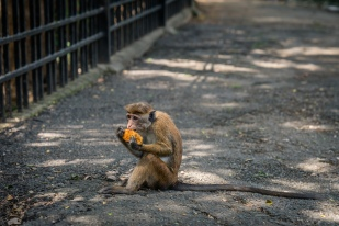 monkey-food-kandy-sri-lanka