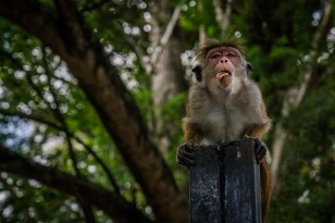 puking-monkey-kandy-sri-lanka