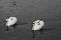 swans-limmat-river-zurich